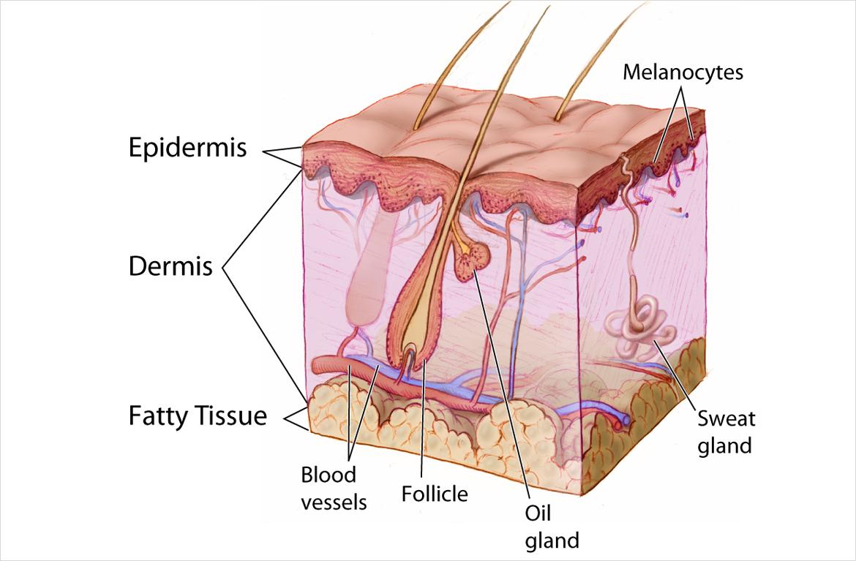 General Anatomy Skin, Skin Care Cosmetic Treatments, Skin Biopsy ...